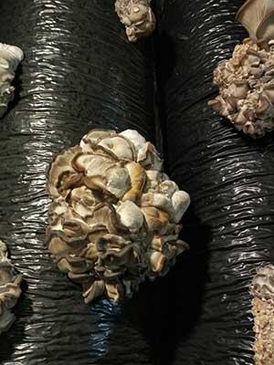 уродливая шишка вместо грибов