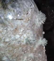 вешенки как кораллы
