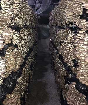 ряды блоков с грибами вешенками