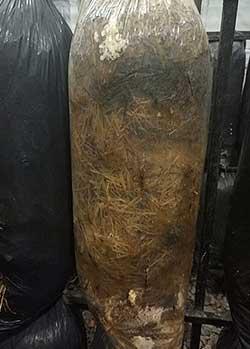 мицелий в жару съеденный личинками