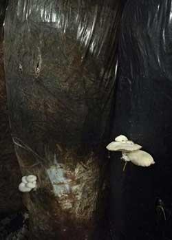 личинки мух съедают мицелий вешенки