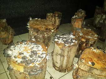 грибы на пнях в Турции