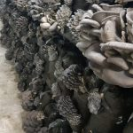Сколько растут вешенки в мешках и когда появляются грибы